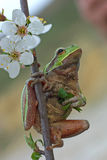 A tree frog Royalty Free Stock Images