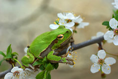 A tree frog Stock Photography