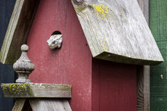 Tree Frog In A Birdhouse. Tree Frog finds security in an unusual home Royalty Free Stock Photography