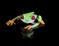 Tree frog on black. Isolated red eyed tree frog reflected on black Royalty Free Stock Photography