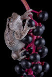 Tree frog on black berries Stock Images