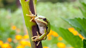 Tree Frog on Branch Stock Image