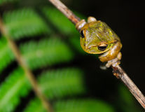A tree frog on a branch Royalty Free Stock Photography