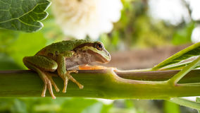 Tree Frog on Branch 2 Stock Photo