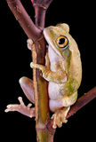 Tree frog on branch. A big-eyed tree frog is sitting on a branch Stock Photo
