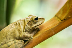 Tree frog on branch Royalty Free Stock Image
