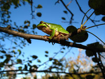 Tree frog on branch on sky background. It sits on branch and keeps by paws Royalty Free Stock Photos