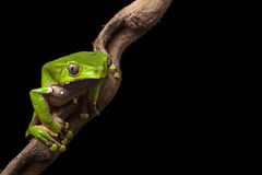 Tree frog in Brazil amazon rain forest stock image