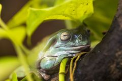 Tree frog in Brazil tropical amazon rain forest stock photos