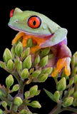 Tree frog on buds Royalty Free Stock Image