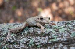 Tree Frog Stock Image