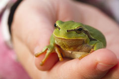 Tree frog on child hand Royalty Free Stock Photography