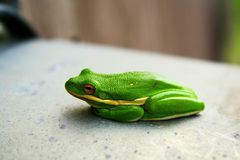 Tree frog. Chilling Royalty Free Stock Image