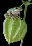 Tree frog on chinese lantern Royalty Free Stock Photos