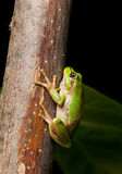 Tree frog clinging on branch Stock Photos