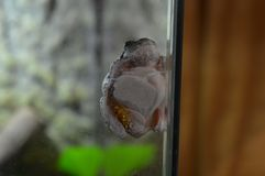 Tree Frog on the glass Royalty Free Stock Images