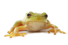 Tree frog close up. Green tree frog  on white background Stock Photos