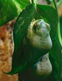 Tree Frog. Close up front view of small tree frog perched on leaf Royalty Free Stock Photo