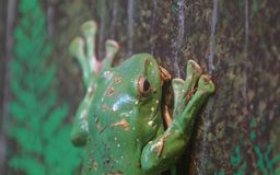 Tree frog in tree closeup stock images