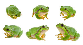Tree frog collection Royalty Free Stock Photography