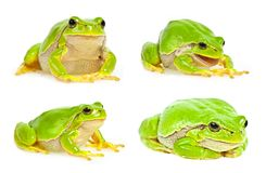 Tree frog collection Royalty Free Stock Image