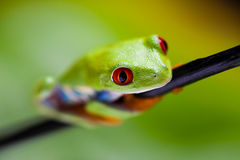 Tree frog on colorful background Royalty Free Stock Photos