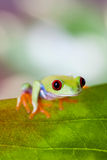 Tree frog on colorful background Royalty Free Stock Photography