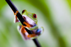 Tree frog on colorful background Royalty Free Stock Images
