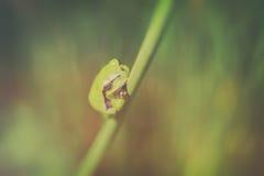 Tree frog - common rush - top view Stock Photo