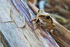 Tree frog. Common Tree frog in Thailand Stock Photo