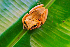 Tree frog. Common Tree frog in Thailand Royalty Free Stock Photos