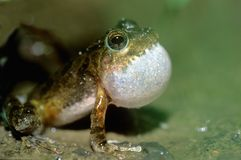 Tree frog courtship Stock Photos