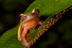 Tree frog cute tropical animal amphibian. Colorful tree frog Hypsiboas triangularum in the Bolivian rain forest cute tropical animal on green leaf amphibian with Royalty Free Stock Images