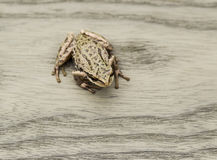 Tree Frog on Deck Royalty Free Stock Photography