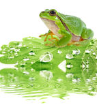 Tree frog on dewy leaf Royalty Free Stock Photos