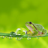 Tree frog on dewy leaf - macro Royalty Free Stock Images
