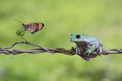 Tree frog, dumpy frog on branch with butterfly. Dumpy frogs sitting on branch stock photography