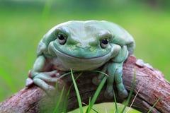 Tree frog, frog, dumpy frog closeupp. Big dumpy frog closeup on wood Stock Image