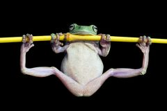 Tree frog, dumpy frog gymnastic on the branch. Funny frog, dumpy frog gymnastic on the branch Stock Image