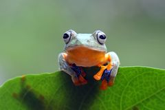 Tree frog, dumpy frog on green leaves, flying frog. Tree frog on green leaves stock photography