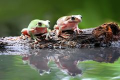 Tree frog, dumpy frog in reflection Stock Image