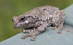 Tree Frog on the Edge Stock Photography