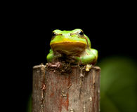 Tree frog en face Royalty Free Stock Images