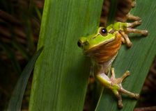 Tree frog europe amphibian hyla animal macro Stock Photos