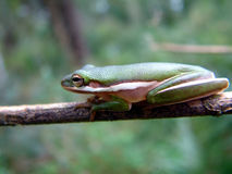 Tree Frog in the Everglades Stock Image