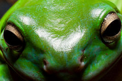 Tree frog face Royalty Free Stock Photography