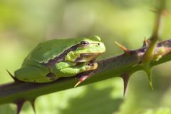 Tree frog - finger Royalty Free Stock Photos