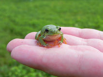 Tree frog on fingers Stock Photography