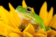 Tree frog on a flower. White-lipped tree frog or Litoria Infrafrenata sitting on a sunflower Royalty Free Stock Photos