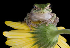 Tree frog on flower Stock Image